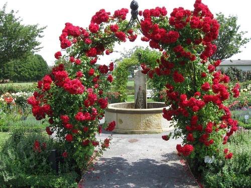 rosas trepadeiras vermelhas