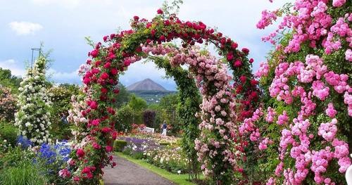rosas trepadeiras várias cores
