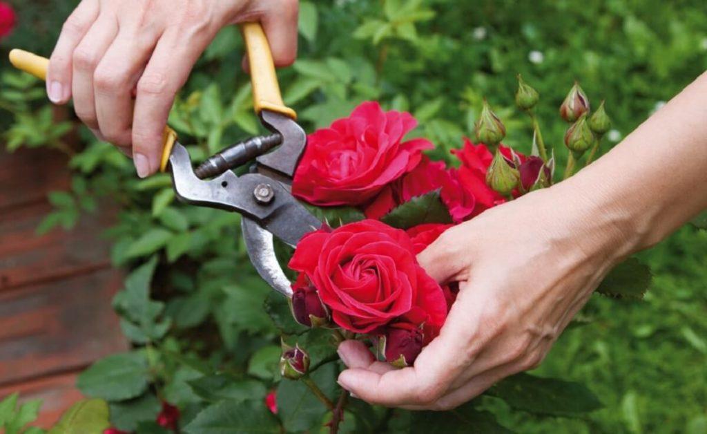 aprenda a podar rosas