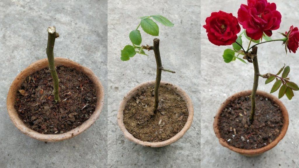 mudas de rosas