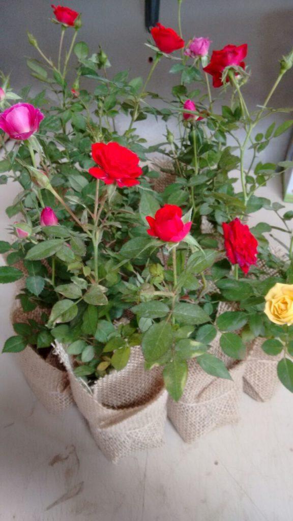 rosas vermelhas e rosas.