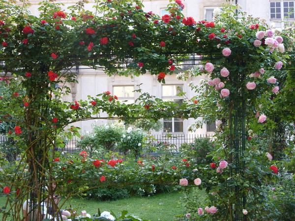 rosas trepadeiras de várias cores