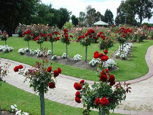 rosas em crescimento
