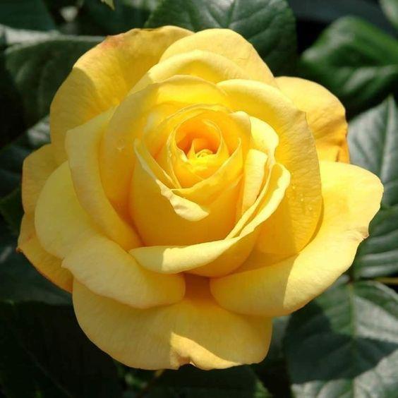 a beleza amarela