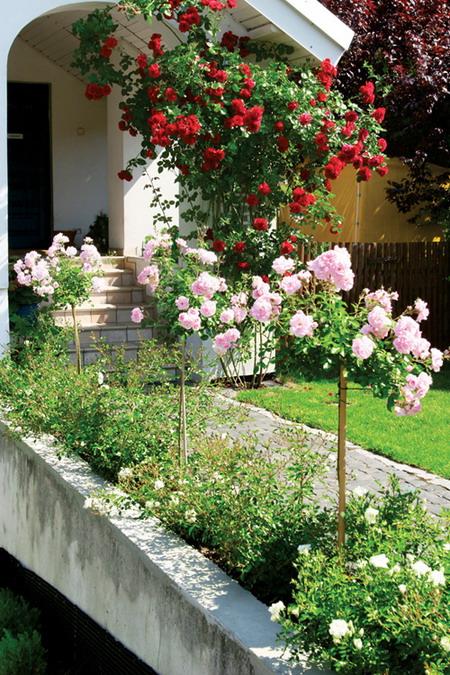 canteiro com rosas