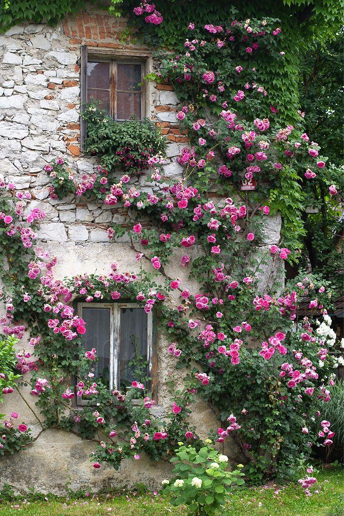 rosas trepadeiras na fachada