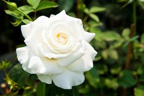 rosas brancas para decorar