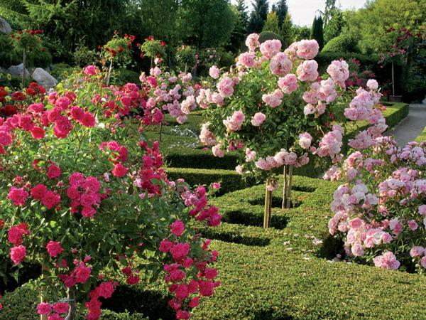 labirinto com rosas