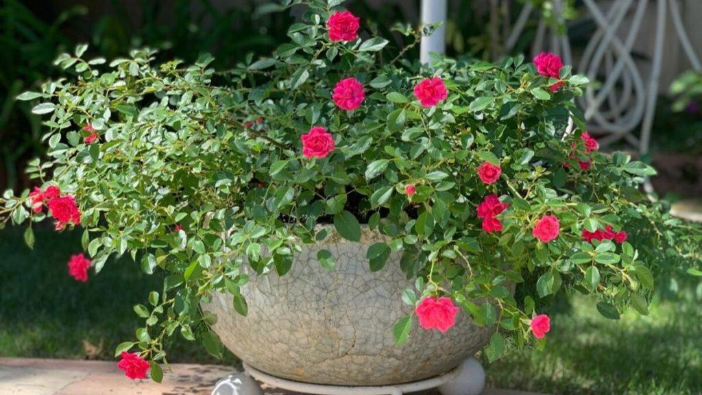 mini rosas no vaso
