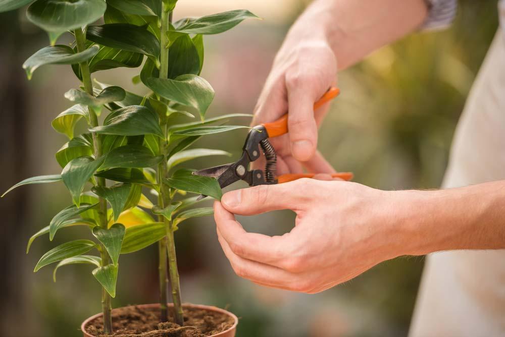 poda das folhas do girassol