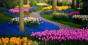 como cuidar de tulipas