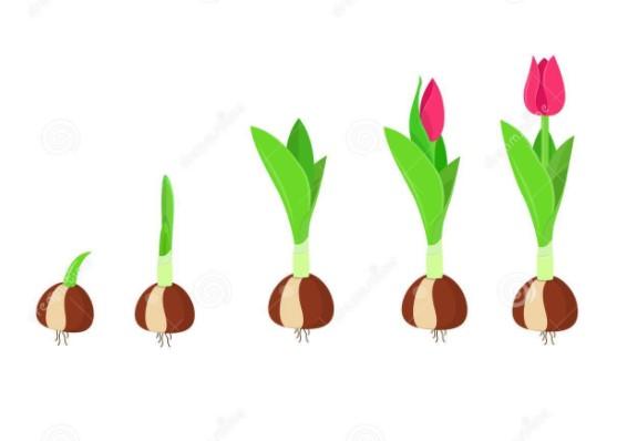 passo a passo sobre como cuidar de tulipas