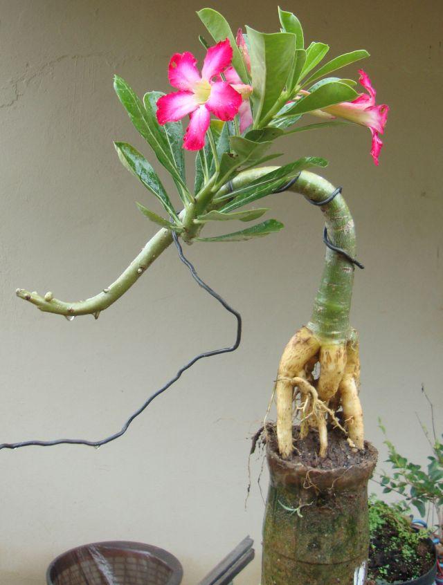muda de rosa do deserto