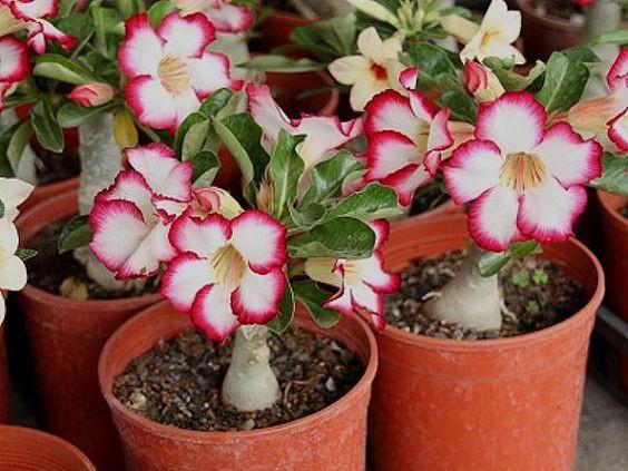 rosa do deserto em pequenos vasos