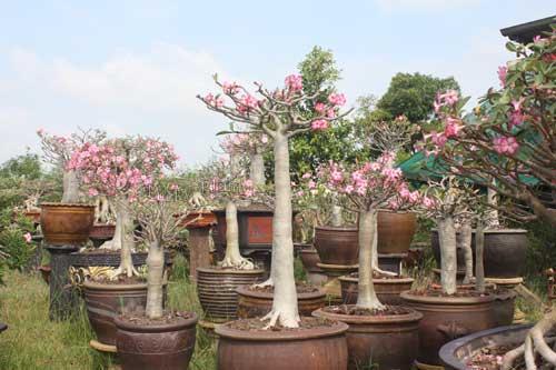 jardim de rosa do deserto