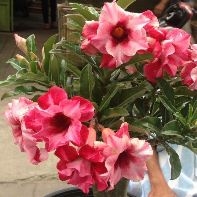 flor do deserto rosa