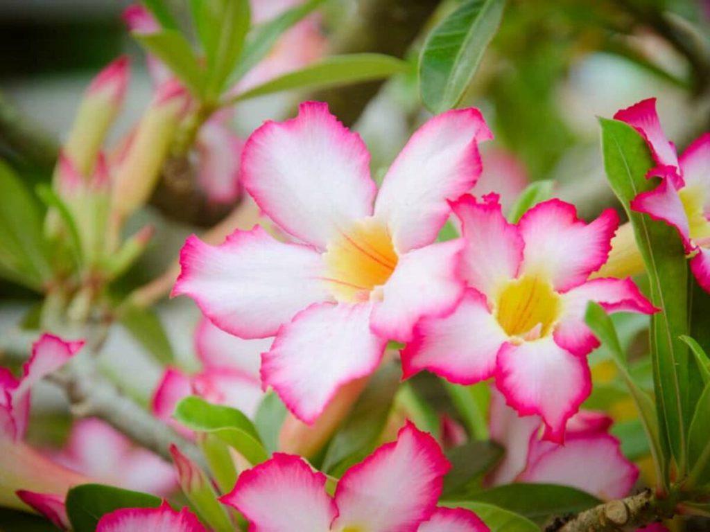 blor branca com pontas rosas