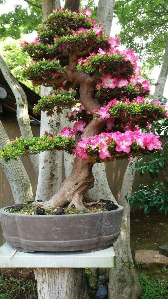 flor do deserto bonsai