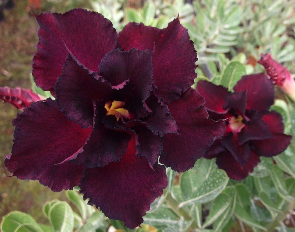 flor vinho escuro