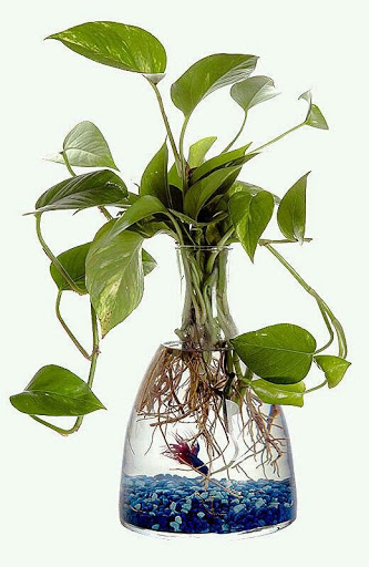 anturio com vaso e água