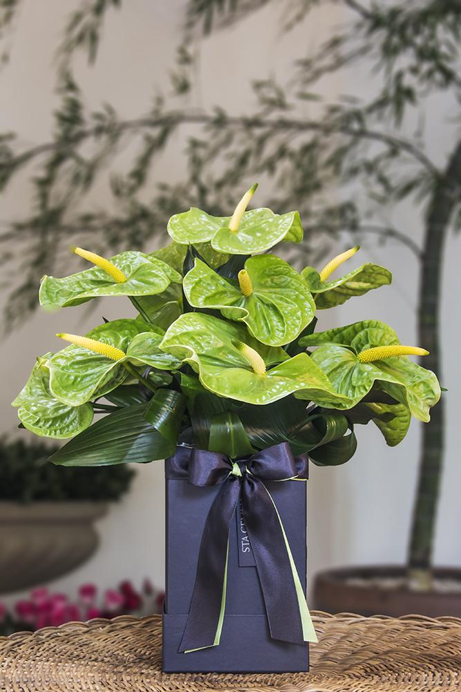 anturio verde decorando