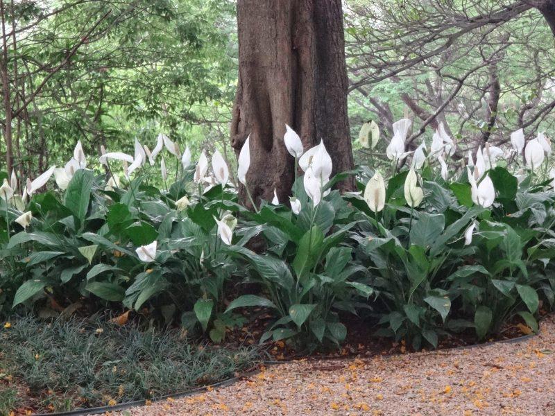jardim de anturio branco