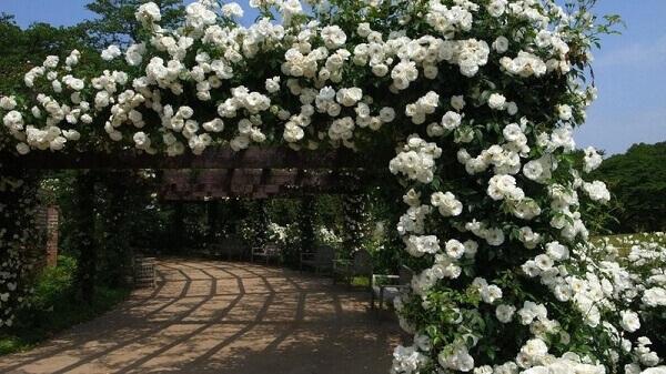 rosas para cerca viva