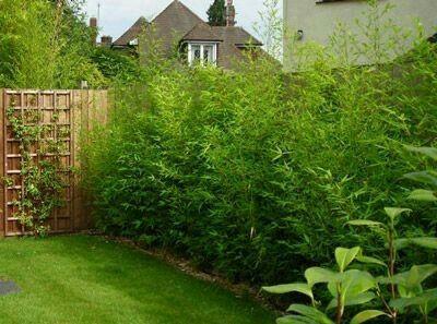 jardim decorado com cerca viva de bambu