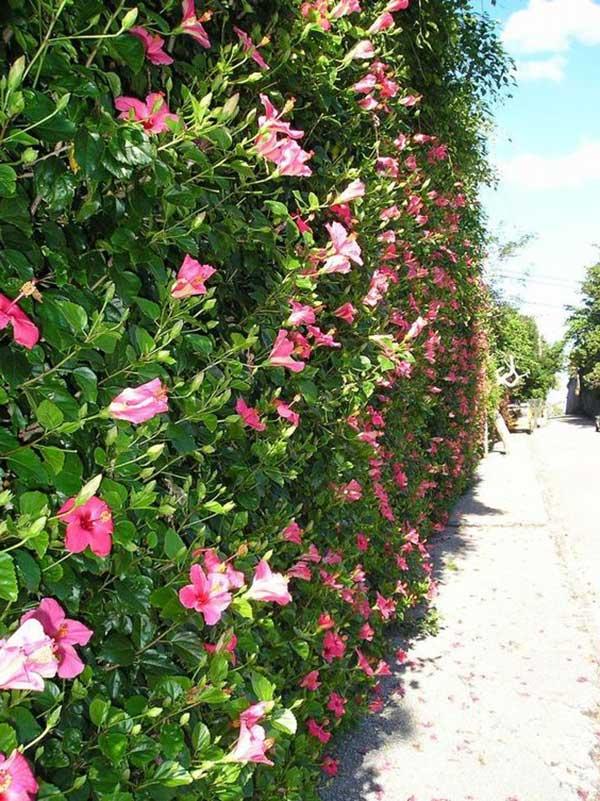 cerca viva com flores rosa