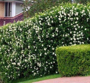 cerca com flores brancas