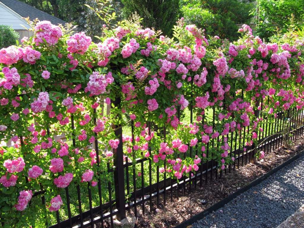 rosas cobrindo o muro
