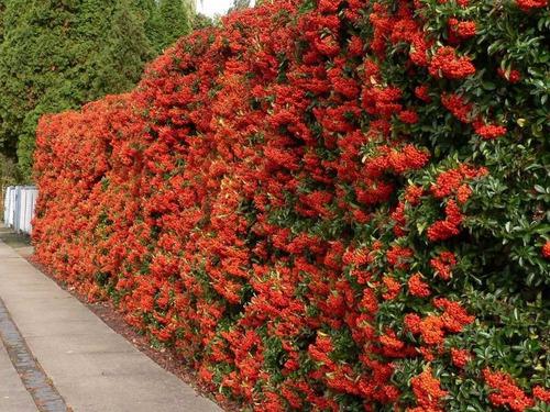 cerca com flor vermelha