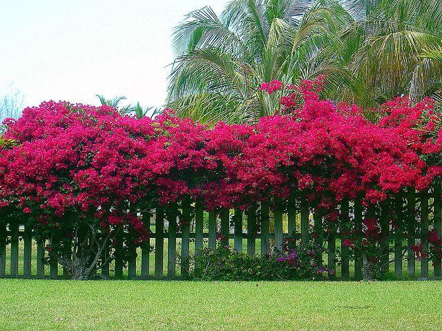 pé de primavera sobre a cerca