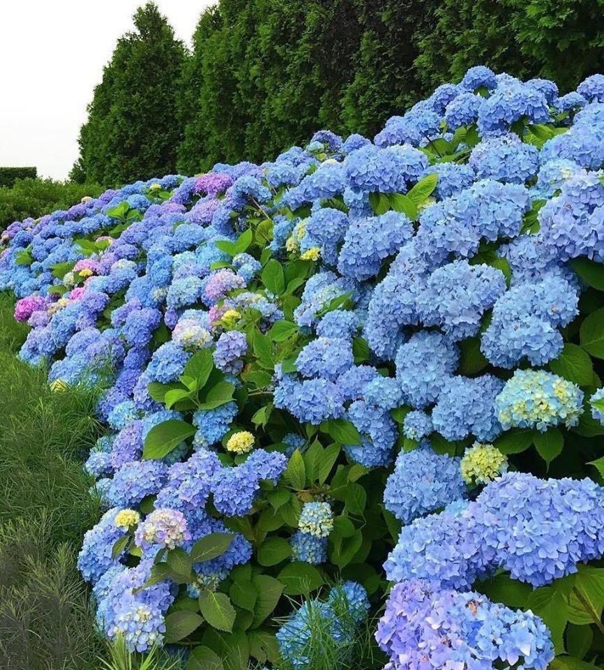 flores azuis para cerca