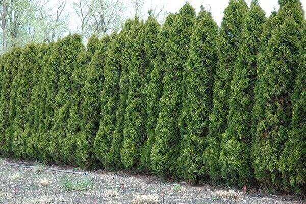 pinheiros altos para cerca