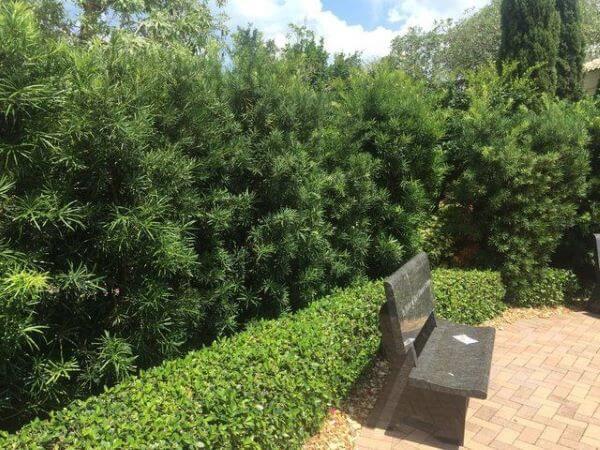 jardim de podocarpo com banco