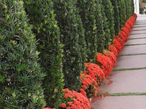 podocarpo e flores