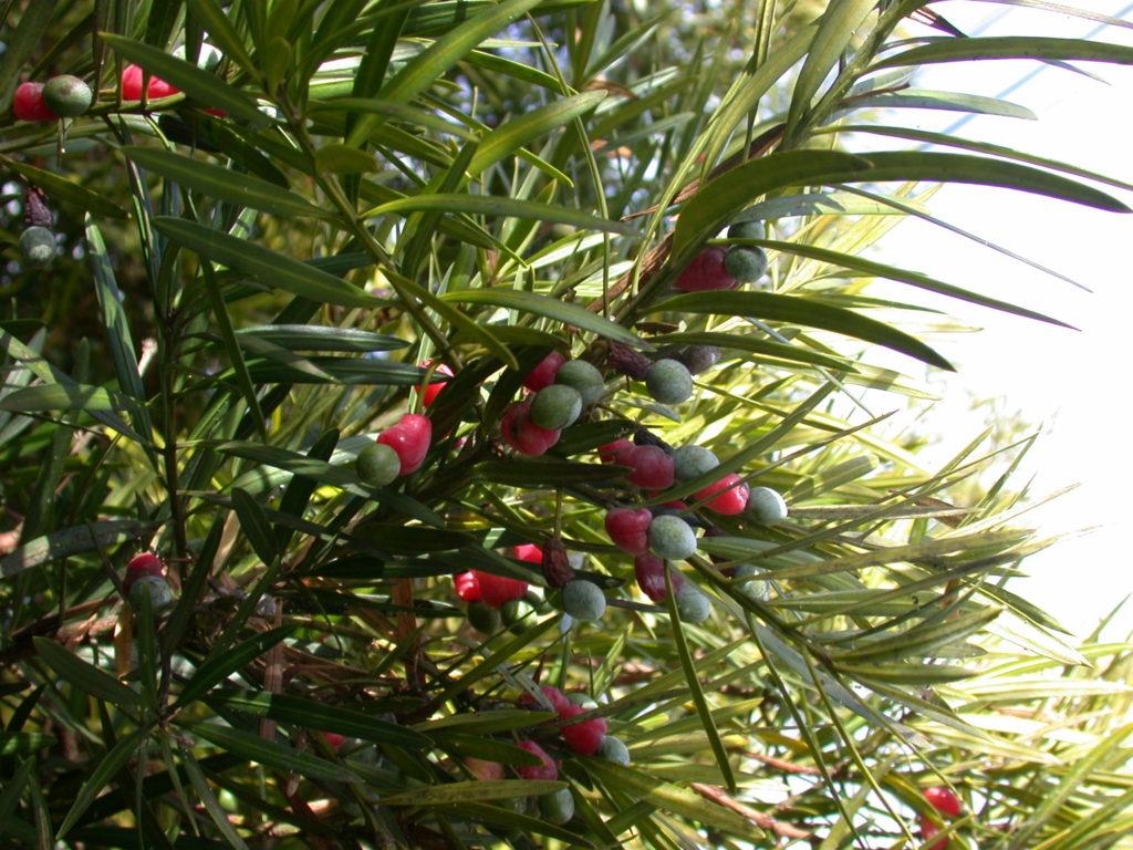 planta podocarpo