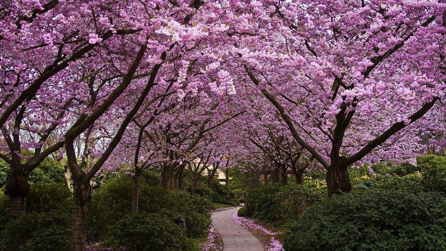 floresta de flor de cerejeira
