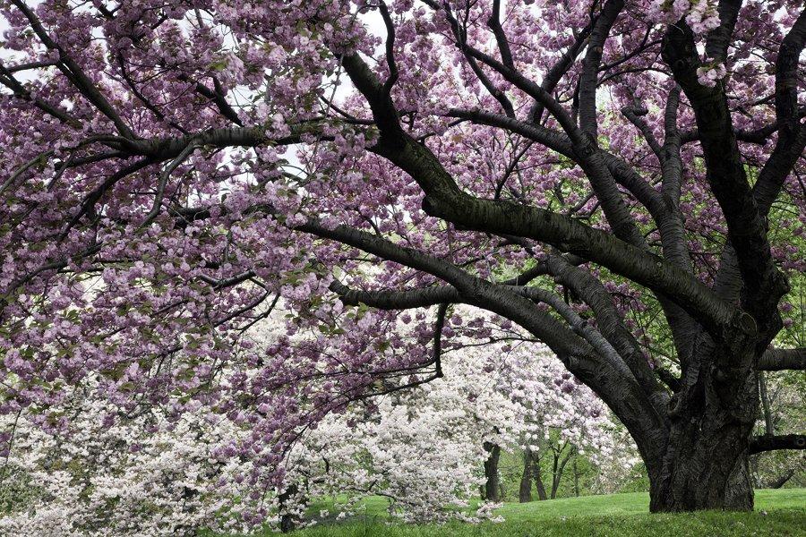 a beleza da flor de cerejeira