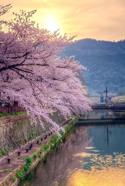 paisagem com cerejeiras