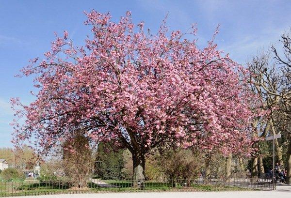 lindo pé de cerejeira