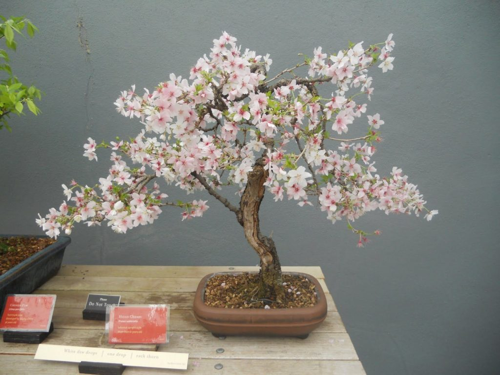 bonsai de sakura