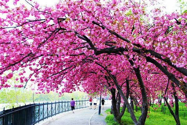 local para caminhada com sakura