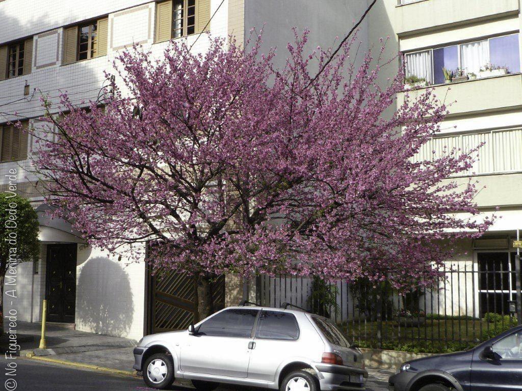 cerejeira na calçada