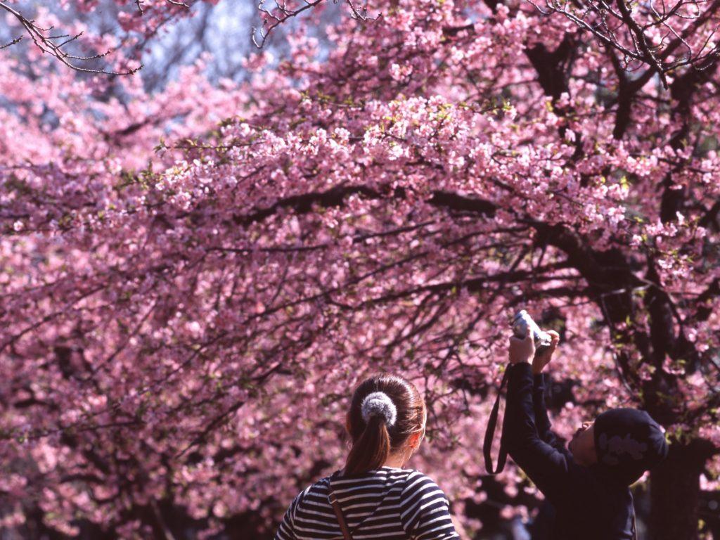 casal fotografando cerejeira