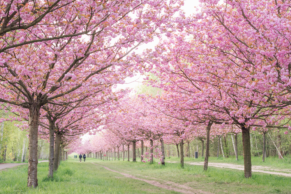 área com cerejeiras