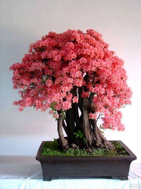 bonsai de cerejeira