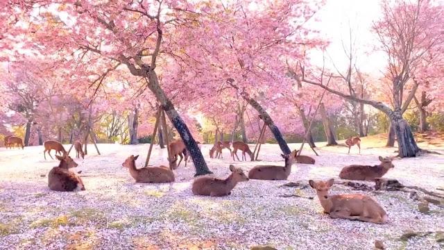 parque com flor de cerejeira