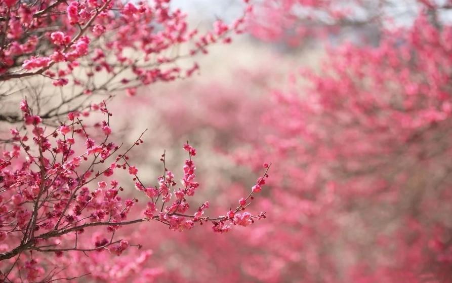 pequena flor de cerejeira